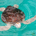 Hawskbill Sea Turtle at Mexican Turtle Center, Mazunte