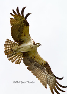 Osprey approaching nest