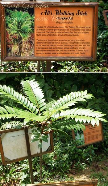 Herb - Tongkat Ali-001-vert