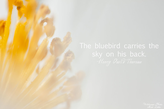 bluebirdthoreau