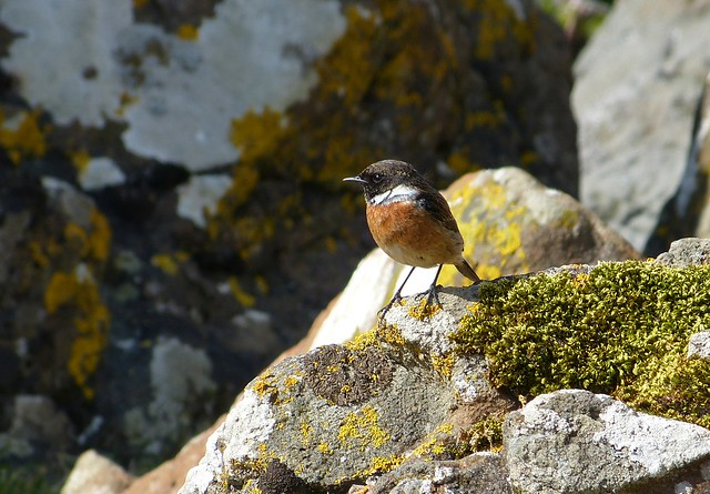 27193 - Stonechat, Isle of Mull