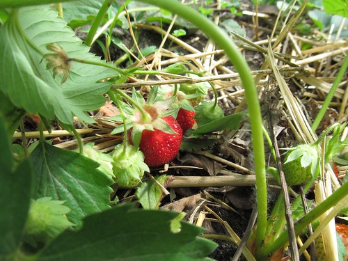 strawberries_May15_2012