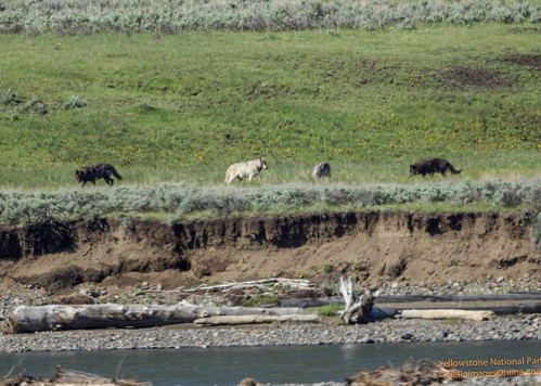 4 Wolves from the Lamar Valley carcass by Mark/MPEG (Midwest Photography Enthusiasts Group)