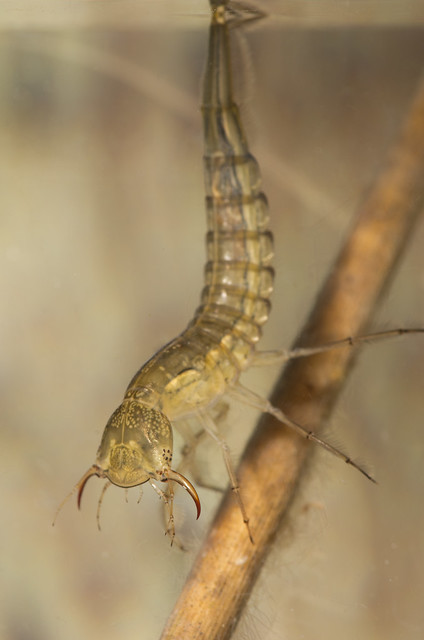 Great diving beetle Dytiscus Larva fangs open