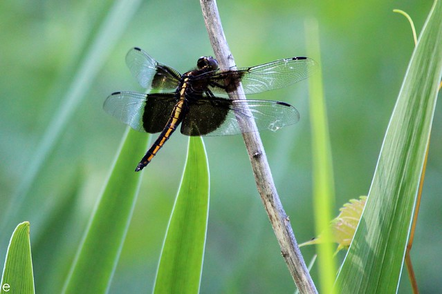 Female Widow Skimmer