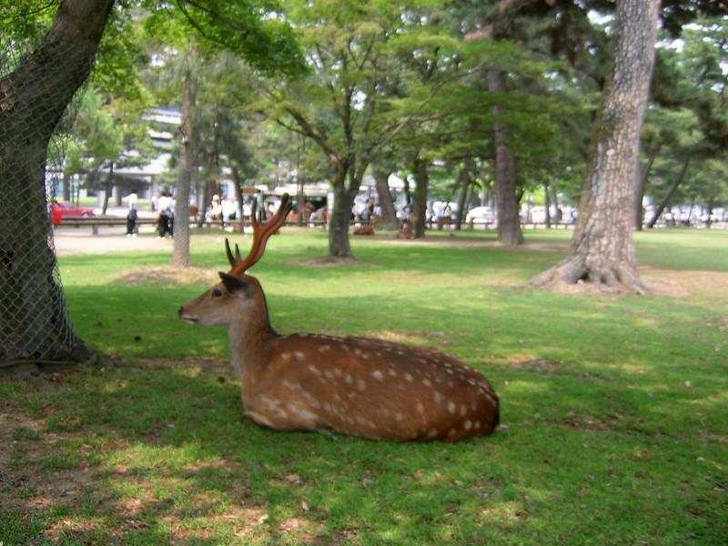 20050619_02_Nara_Deer