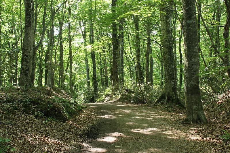 ブナ自然林 その2