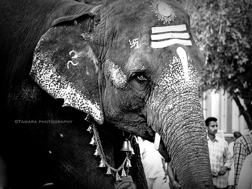 "street travel blackandwhite india elephant animal temple ganesha nikon wildlife pondicherry southindia puducherry ""flickrtravelaward"" nikond5100 flickrclickx"