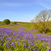 Bluebells on St Boniface Down by Shane Thornton
