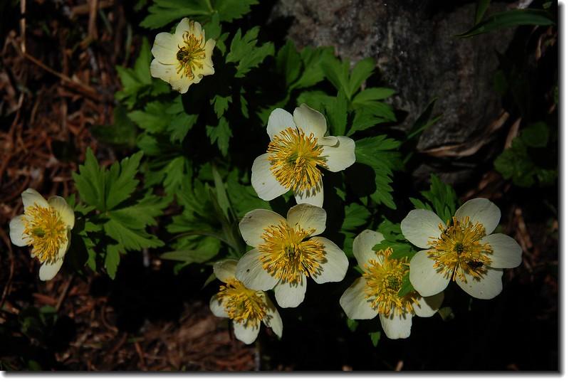 Globeflower 3