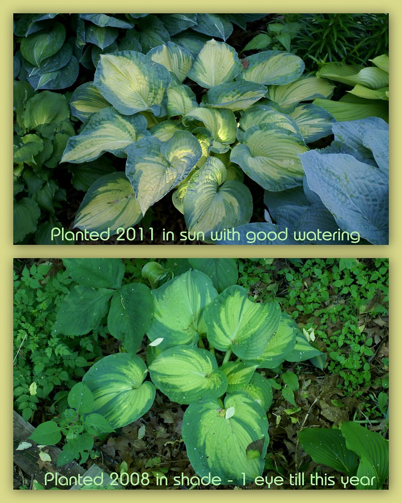 Hosta 'Great Expectations' (2)(08&11)-1