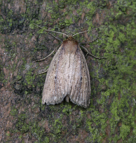 Brown-veined Wainscot Archanara dissoluta Tophill Low NR, East Yorkshire July 2014