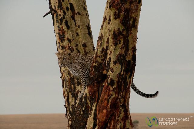 Leopard Lookout Spot in Tree - Serengeti, Tanzania