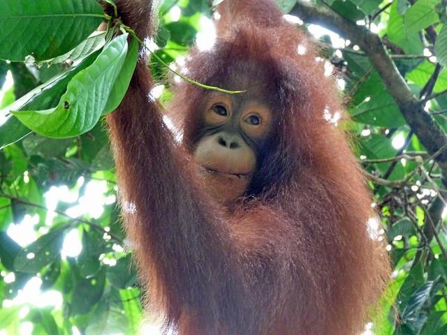 Orangután en Sepilok (Borneo, Malasia)