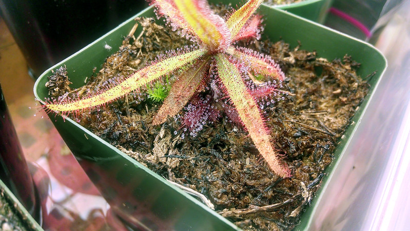 Drosera adelae with pup.
