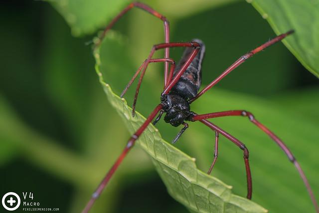 Blackwood Orb Weaver Spider- Nephila cf. kuhlii ♀