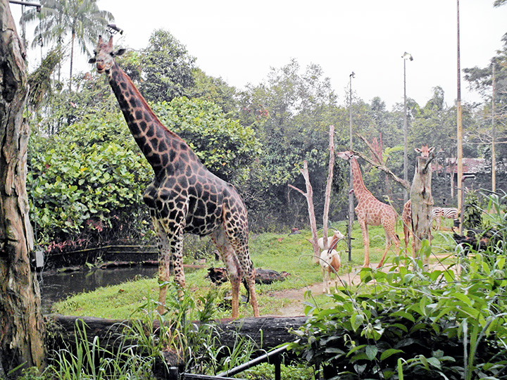 singapore night safari giraffe  2