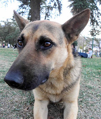 dog breed, german shepherd dog, animal, dog, czechoslovakian wolfdog, pet, east siberian laika, norwegian elkhound, belgian shepherd malinois, wolfdog, saarloos wolfdog, east-european shepherd, shiloh shepherd dog, carnivoran,