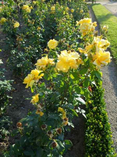 Rosa floribunda 'Sunflare' v 1