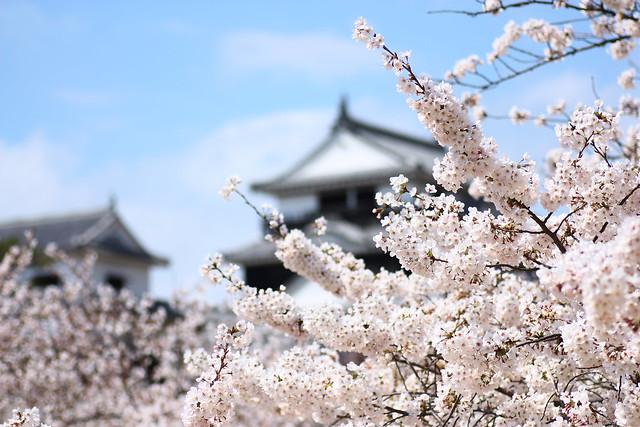 Matsuyama castle with Sakura 4
