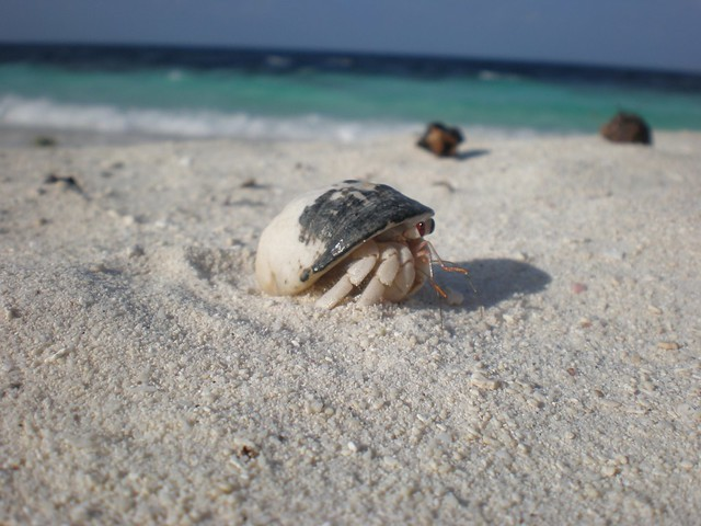 Hermit Crab on the beach | Flickr - Photo Sharing!