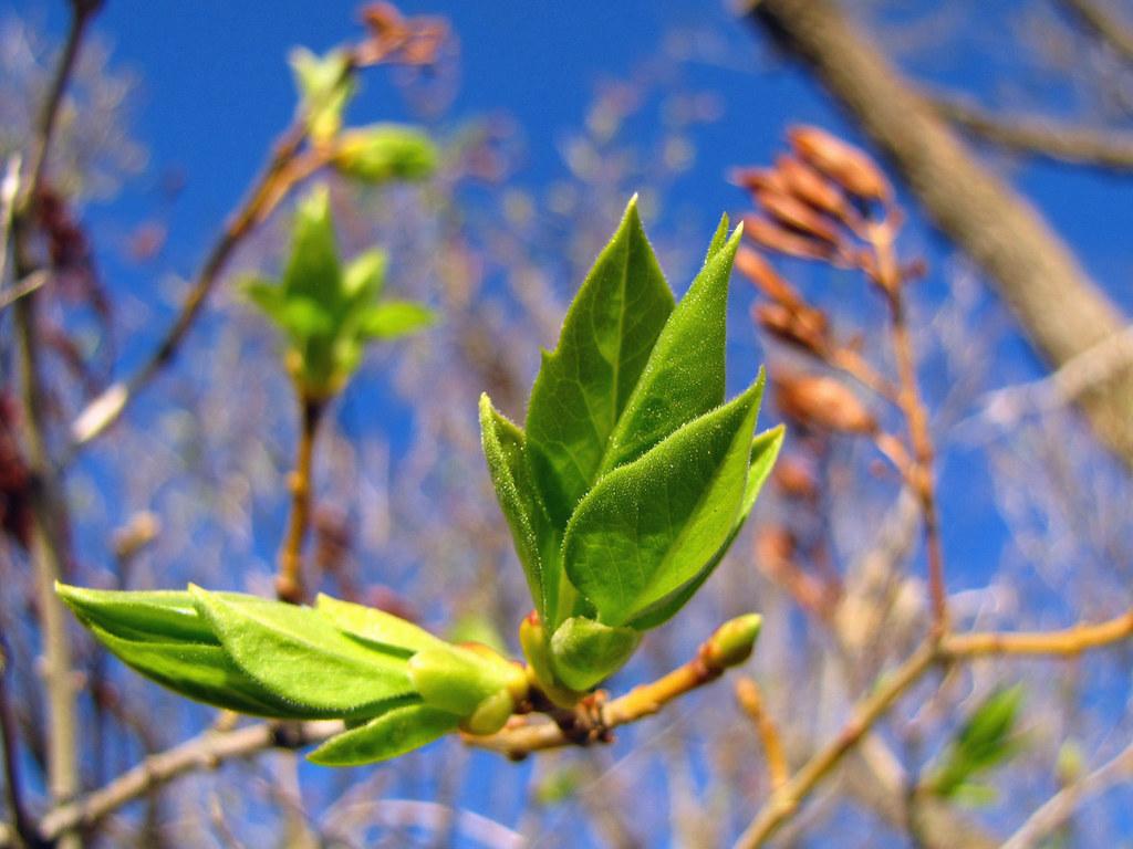 Lilac Leaf Bud