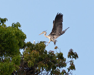 turning sequence of grey heron in the air #2