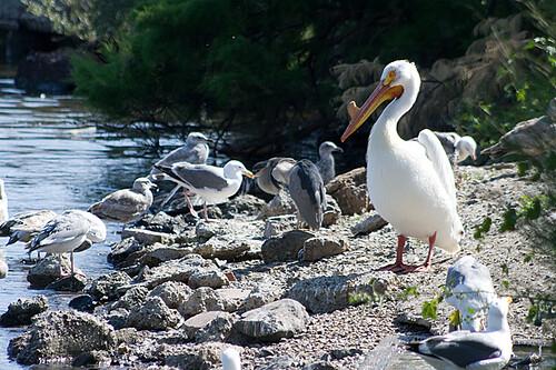 pelican3422