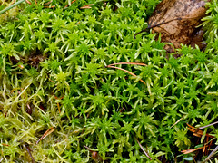 flower(0.0), soil(0.0), grass(0.0), lawn(0.0), moss(0.0), shrub(1.0), leaf(1.0), plant(1.0), herb(1.0), flora(1.0), green(1.0), non-vascular land plant(1.0), groundcover(1.0),