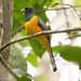 Green-Backed Trogon 7-06-2016-5113