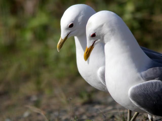 Mew Gulls 20110619
