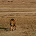 Big Male Lion in Ngorongoro Crater - Tanzania