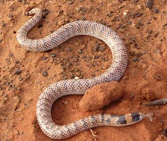 boas(0.0), eastern diamondback rattlesnake(0.0), boa constrictor(0.0), viper(0.0), garter snake(0.0), rattlesnake(0.0), kingsnake(0.0), animal(1.0), serpent(1.0), snake(1.0), reptile(1.0), hognose snake(1.0), fauna(1.0), sidewinder(1.0), anguidae(1.0), scaled reptile(1.0),