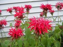 annual plant(1.0), dahlia(1.0), shrub(1.0), flower(1.0), plant(1.0), bee balm(1.0), scarlet beebalm(1.0), herb(1.0), flora(1.0),
