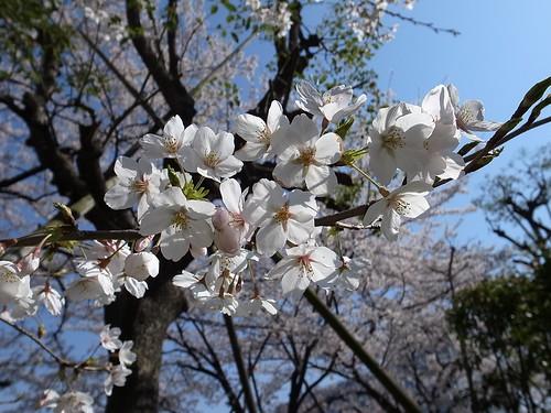 桜 by Garyou