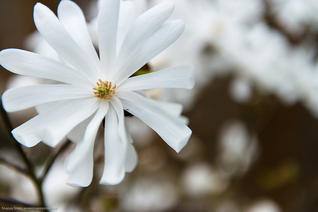 Royal Star Magnolia (1 of 3)