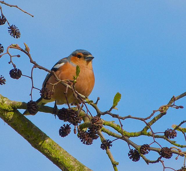 Oiseau de normandie j 39 ignore le nom de cet oiseau mais for Petit oiseau gris