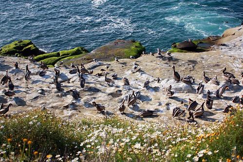 Pelicans in La Jolla, San Diego
