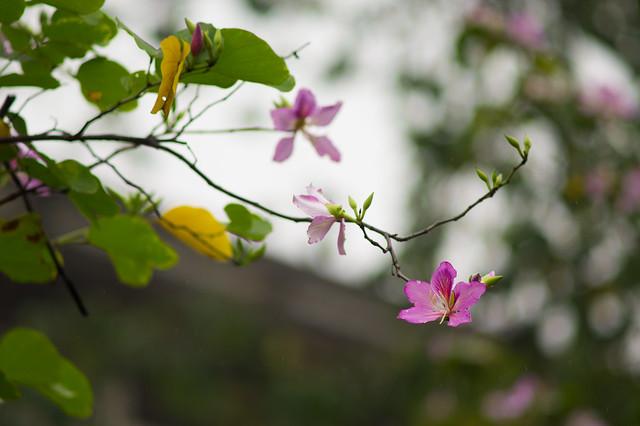 校园里的紫荆花