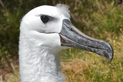 swan(0.0), goose(0.0), animal(1.0), water bird(1.0), albatross(1.0), fauna(1.0), close-up(1.0), beak(1.0), bird(1.0), wildlife(1.0),
