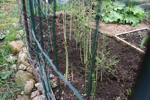asparagus bed 058
