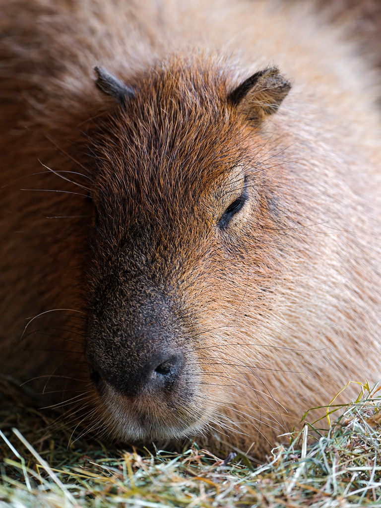 Sleepy capybara