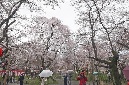 【写真】2014 桜 : 平野神社/2020-06-29/IMGP5554
