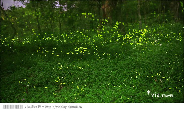 【台中螢火蟲】東勢林場螢火蟲~賞螢必遊!滿滿的螢火蟲閃爍夢幻光芒6