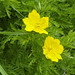 Small photo of Adonis cyllenea