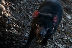 mink(0.0), animal(1.0), possum(1.0), tasmanian devil(1.0), mammal(1.0), fauna(1.0), close-up(1.0), viverridae(1.0), wildlife(1.0),