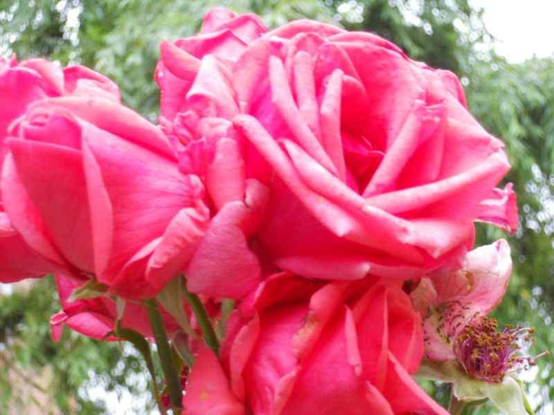 Rosa floribunda 'Kalinda' 1