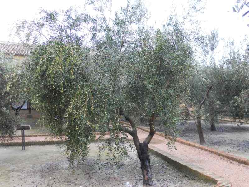 Olea europaea 'Leccino' 3