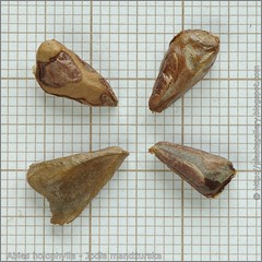 Abies holophylla seeds - Jodła mandżurska nasiona
