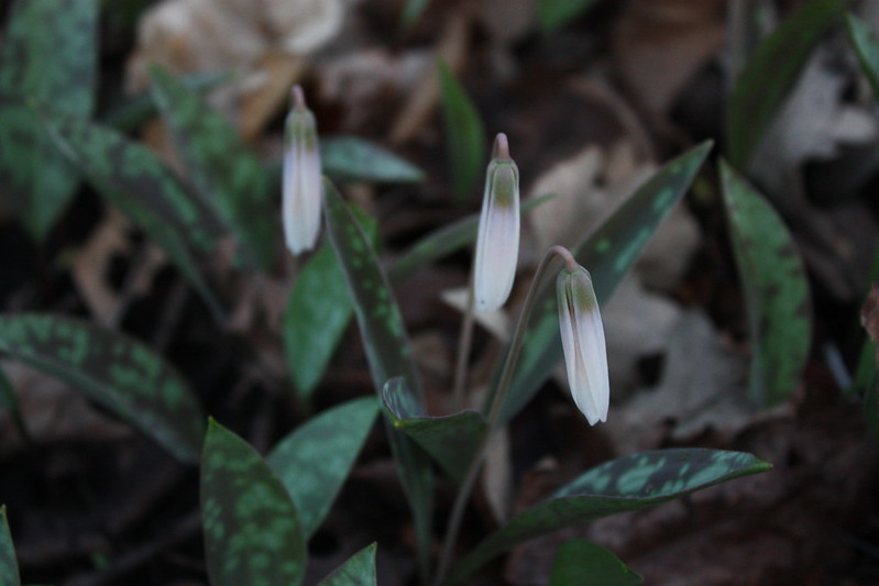 white trout lilies, petals closed